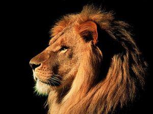 Male-Lion-1-1024x768